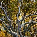 The Oaks of Sunart